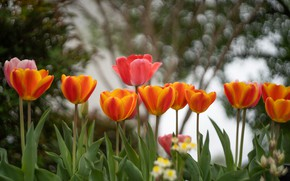 Picture greens, leaves, flowers, branches, background, stems, spring, garden, tulips, red, orange, buds, flowerbed, bokeh, two-tone