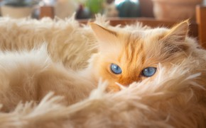 Picture cat, cat, look, face, pose, stay, red, lies, fur