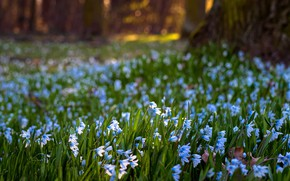 Picture greens, light, flowers, nature, Park, tree, mood, glade, spring, blue, shadows, a lot, bokeh, Scilla