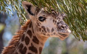 Picture eyes, branches, giraffe, neck
