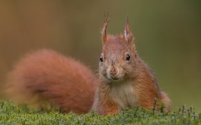 Picture background, moss, protein, muzzle, tail, red, rodent, pet