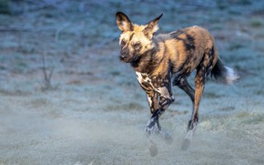 Picture field, look, nature, pose, running, hyena, blue background