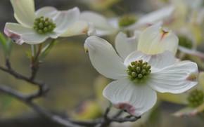 Picture macro, branch, petals, flowers, dogwood