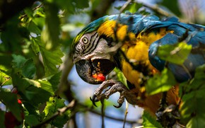 Picture leaves, bird, parrot, Blue-and-yellow macaw
