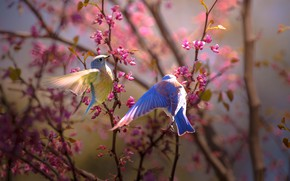 Picture birds, branches, nature, spring, a couple, flowering, Thai Phung
