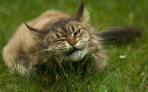 Picture in the grass, fluffy cat, lying on the ground