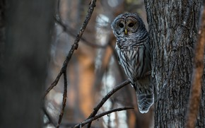 Picture forest, look, branches, background, tree, owl, bird, trunk, grey, bark, beauty, bokeh, tail, owl, motley