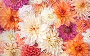 Picture flowers, petals, white, orange, a lot, different, composition, dahlias, subtle shades