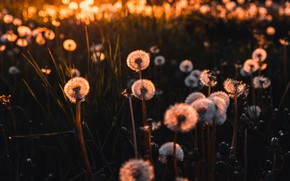 Picture field, summer, light, sunset, flowers, the dark background, the evening, meadow, dandelions