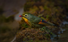 Picture nature, bird, moss, красноклювый лиотрикс, Saxena Vipul