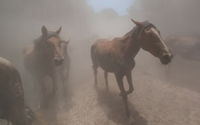 Picture forest, trees, nature, fog, horses, horse, walk, muzzle, the herd, he has Bay, heavy fog