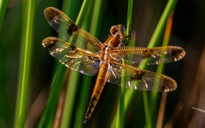 Picture grass, macro, light, stems, wings, dragonfly, insect, bokeh, blurred background