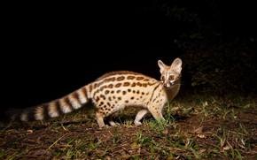 Picture night, mammals, chord, predatory, Genet, viverrids, genetta