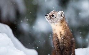 Picture winter, look, snow, nature, pose, background, snowfall, bokeh, looking up, marten