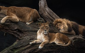 Picture tree, lions, pride