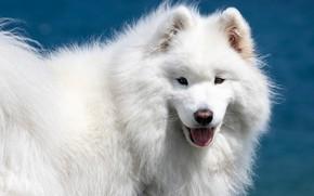 Picture look, face, dog, white, fluffy, Samoyed, Samoyed husky