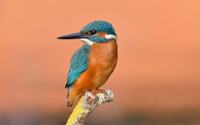 Picture photo, bird, Kingfisher