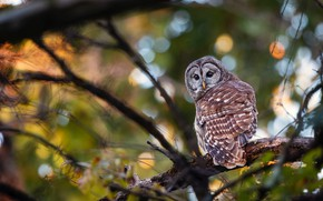 Picture branches, background, owl, bird, bokeh