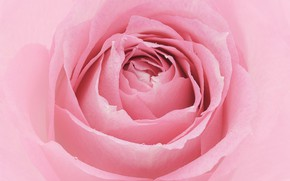 Picture macro, pink, rose