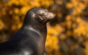 Picture autumn, face, portrait, yellow background, bokeh, sea lion