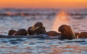 Picture Norway, Svalbard, Tusk, walrus