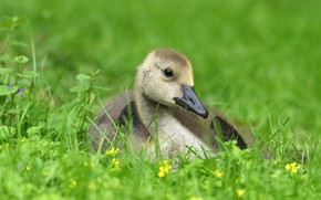 Picture greens, grass, look, grey, bird, glade, spring, baby, chick, goose, Gosling, Gosling