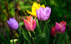 Picture flowers, bright, spring, garden, tulips, buds, colorful