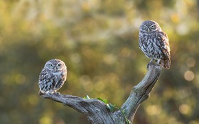 Picture birds, branches, pose, owl, two, pair, snag, owls, a couple, Duo, bokeh, owl, owls