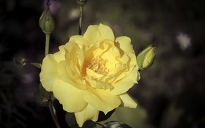 Picture flower, the dark background, rose, yellow rose