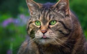 Wallpaper cat, look, portrait, mordaha, Kote, big guy, kotofeich