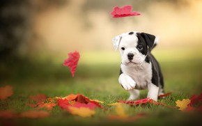Picture puppy, bulldog, leaves