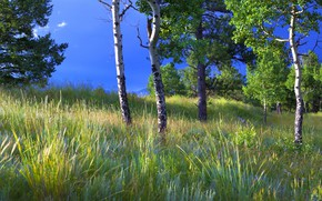 Picture summer, grass, trees, branches, blue, glade, foliage, aspen