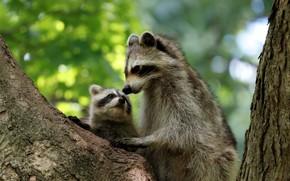 Picture tree, baby, cub, raccoons, motherhood