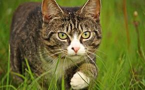 Picture cat, grass, striped