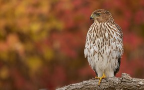 Picture autumn, look, background, bird, branch, Falcon