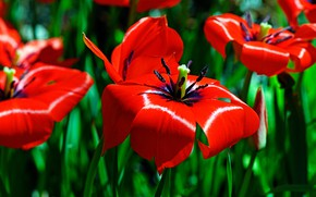 Picture macro, flowers, bright, spring, tulips, red, green background, disclosed