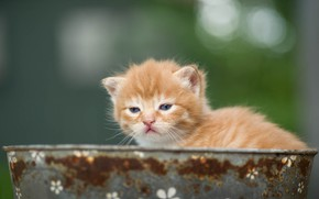 Picture look, background, baby, red, muzzle, kitty, Taz