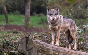 Picture forest, look, face, branches, nature, pose, grey, background, wolf, log, is