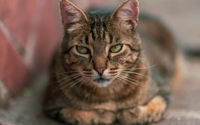 Picture cat, cat, look, face, pose, grey, background, portrait, lies, striped, bokeh, blurred background
