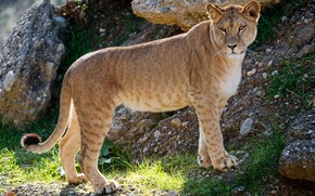 Picture grass, look, face, pose, pebbles, stones, paws, slope, beauty, is, lioness, zoo, young