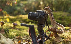 Picture autumn, forest, nature, foliage, mushroom, Chipmunk, animal, rodent, the camera