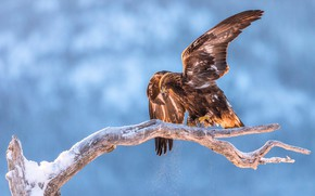 Picture winter, bird, eagle, branch, eagle, blue background, flap