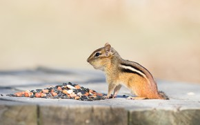 Picture nature, pose, background, stump, muzzle, tail, profile, animal, Chipmunk, sitting, seeds, nuts, lunch, rodent, cheeks, …