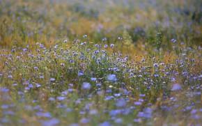 Picture field, summer, flowers, meadow, field, a lot, cornflowers