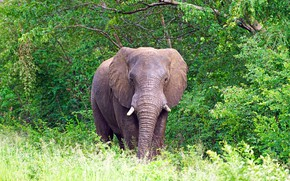Picture greens, grass, trees, nature, foliage, elephant