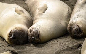 Picture nature, animals, Elephant Seal