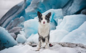 Picture ice, winter, snow, ice, dog, glacier, puppy, ice, sitting, the border collie, motley