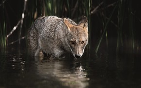 Picture look, water, the dark background, wolf, bathing, pond, coyote