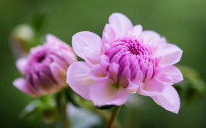 Picture leaves, close-up, pink, dahlias