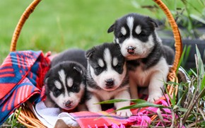 Picture dogs, grass, pose, background, dog, puppies, puppy, plaid, kids, face, basket, trio, husky, faces, Siberian …